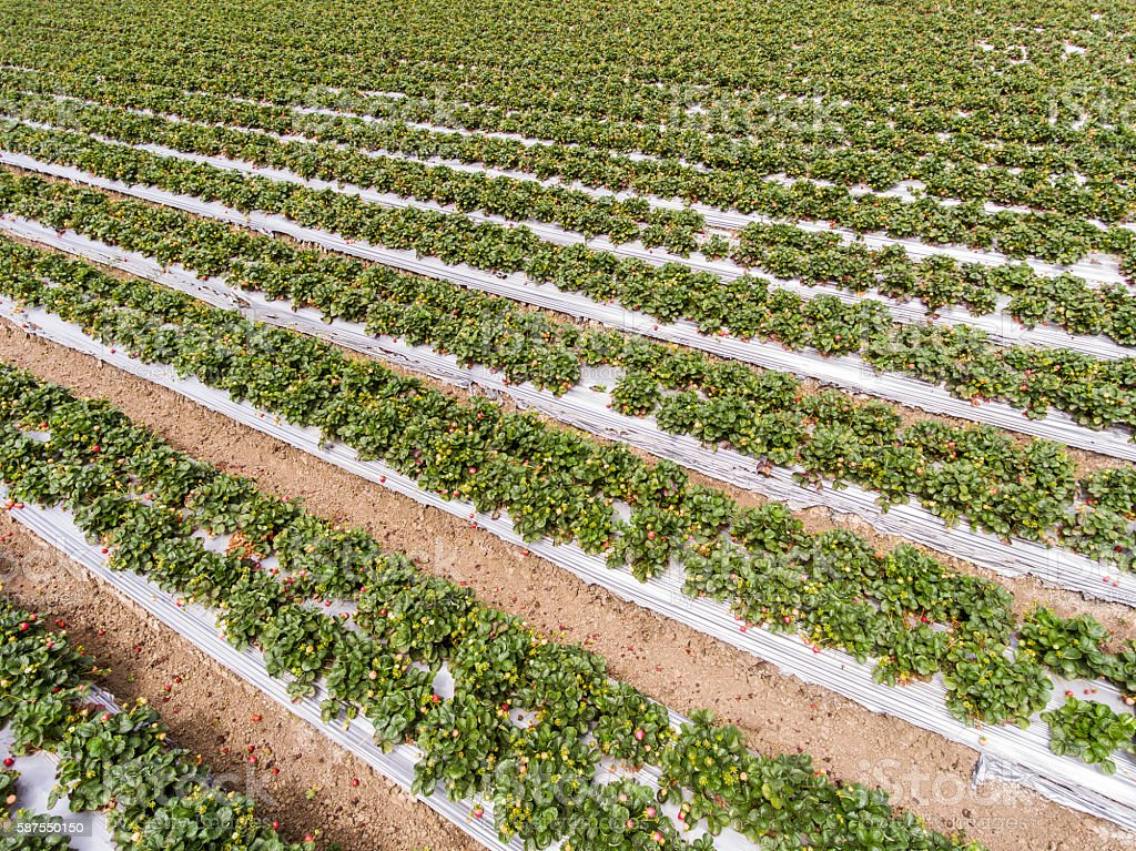 Aerial View of Ripening Strawberies on the Vine stock photo