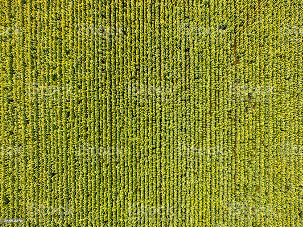 Aerial view of sunflowers stock photo