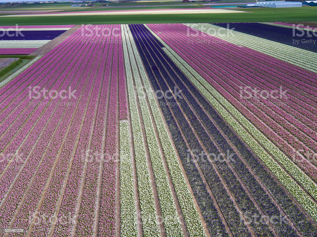 Aerial view of Tulip fields in line stock photo