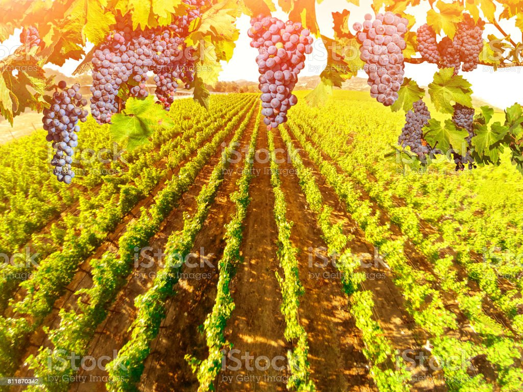 Aerial view of vineyard landscape stock photo
