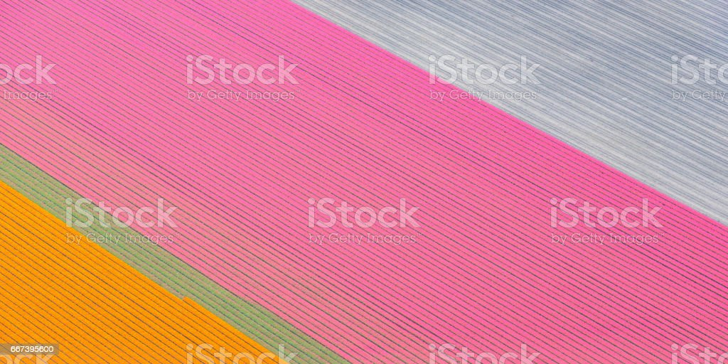Aerial view on fields of orange and pink tulip flowers growing in spring in Holland stock photo