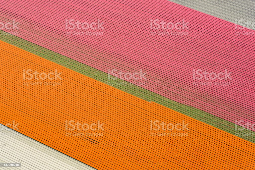 Aerial view on fields of orange and pink tulip flowers stock photo