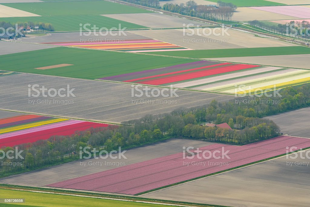 Aerial view on fields of tulip flowers growing in spring stock photo