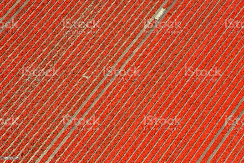 Aerial view on red tulip flowers growing in spring stock photo