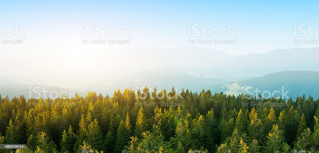 Aerial View On Spacious Pine Forest At Sunrise stock photo