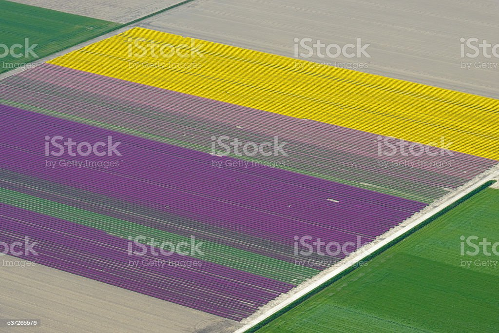 Aerial view on tulip flowers fields growing in spring stock photo