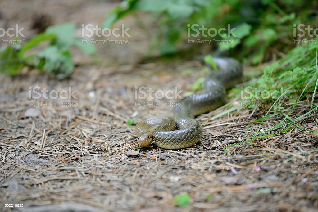 Aesculapian snake in its natural habitat stock photo
