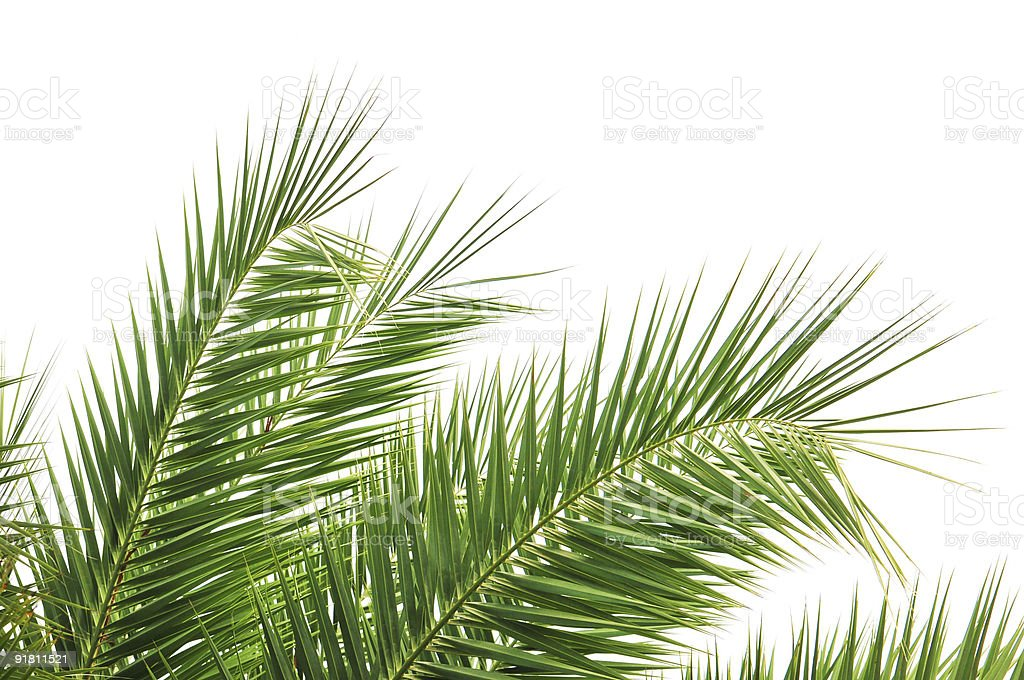 Aesthetic Palm Tree Leaf Against White Background stock photo