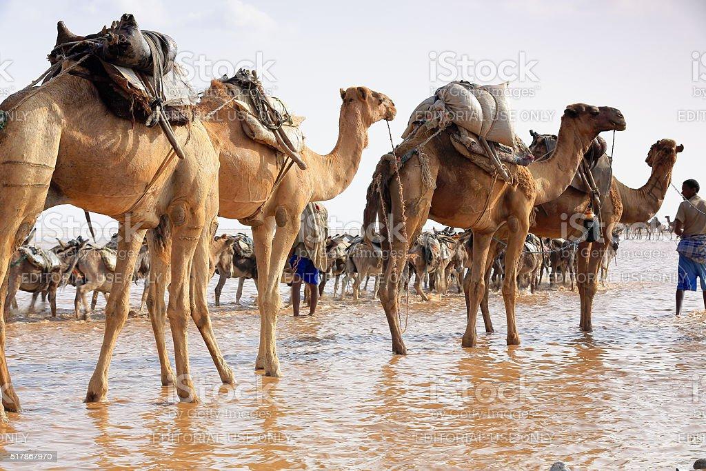 Afar herders drive a camel and donkey caravan. Danakil-Ethiopia. 0293 stock photo