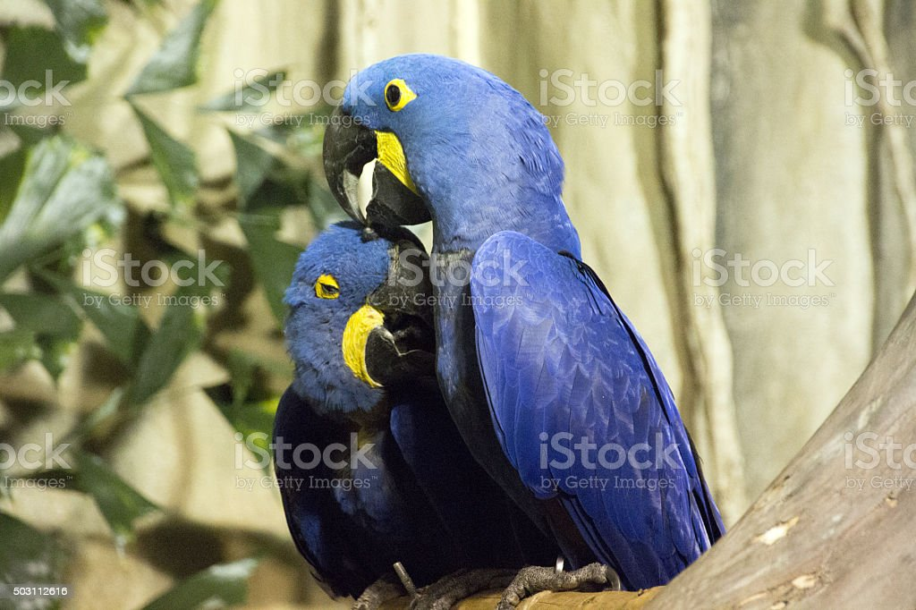 Affectinate Parrot Couple stock photo