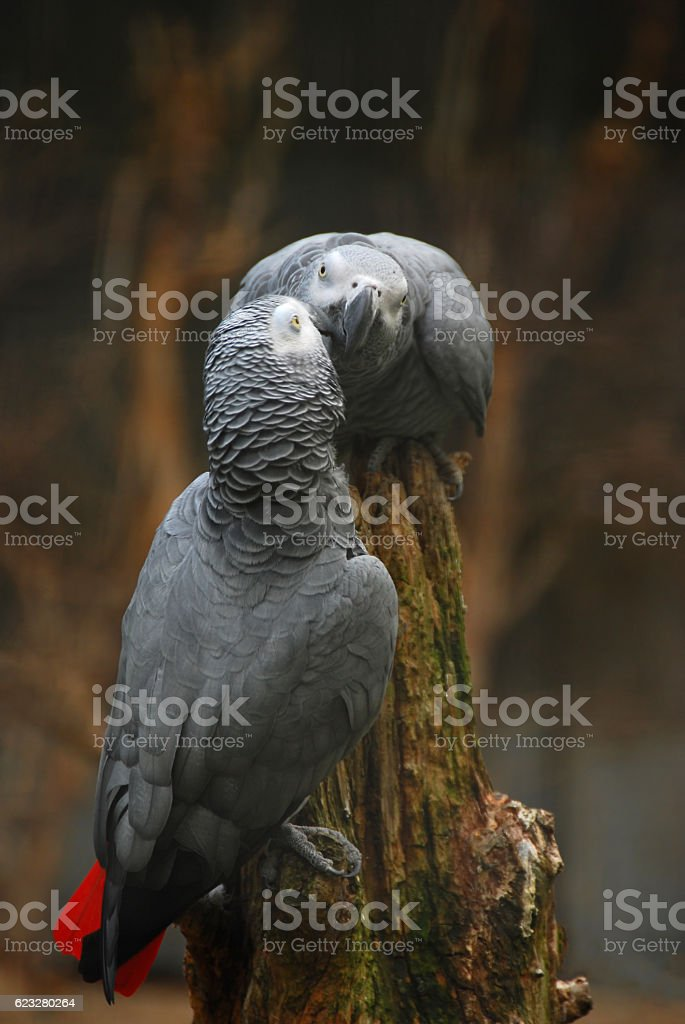 Affection between two African Grey Parrots. stock photo