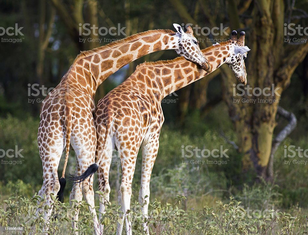 Affectionate Giraffe royalty-free stock photo