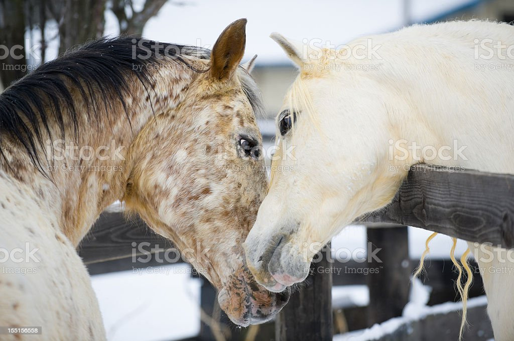 Affectionate Horses Touching in Courtship Behavior, Necking stock photo