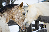 Affectionate Horses Touching in Courtship Behavior, Necking