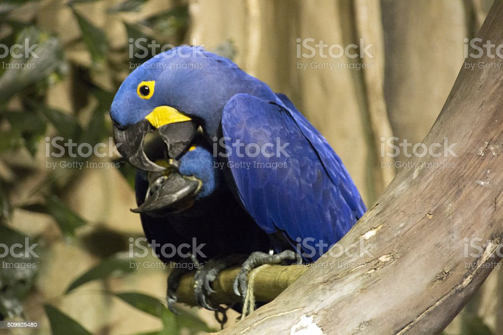 Affectionate Macaw couple stock photo