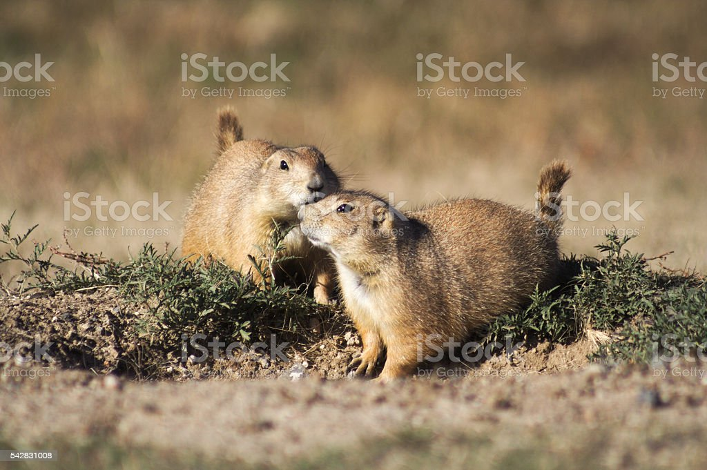 Affectionate Prairie Dogs stock photo