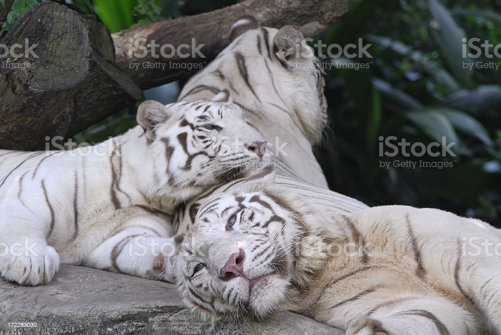 Affectionate white tigers royalty-free stock photo