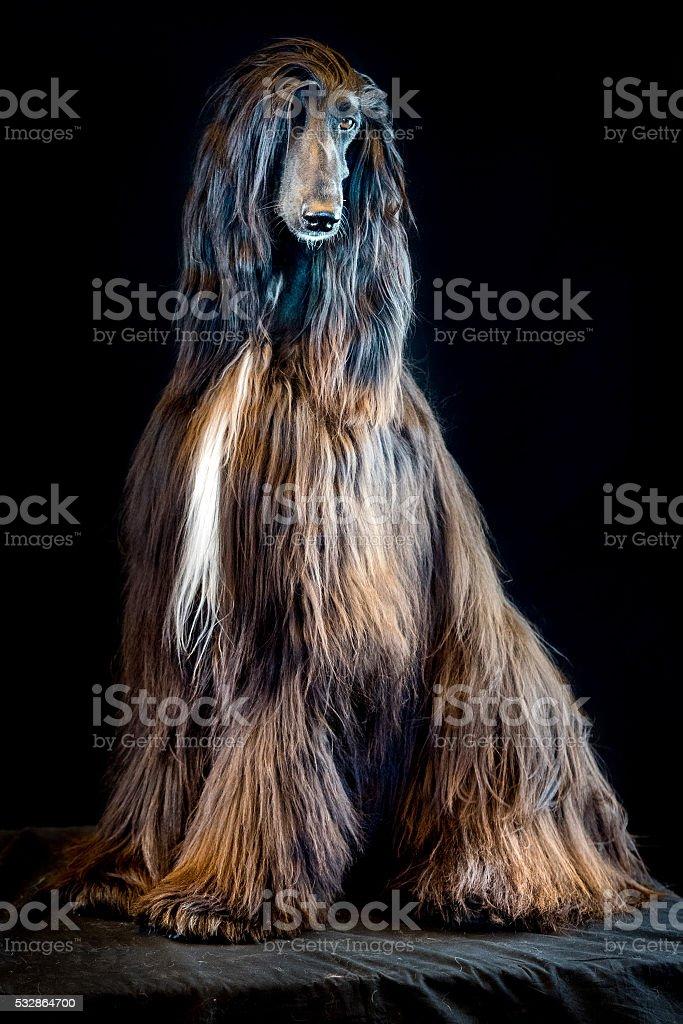 afghan greyhound dog portrait on black background stock photo