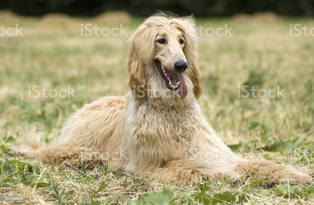 Afghan hound (borzoi) laying in a grass field stock photo