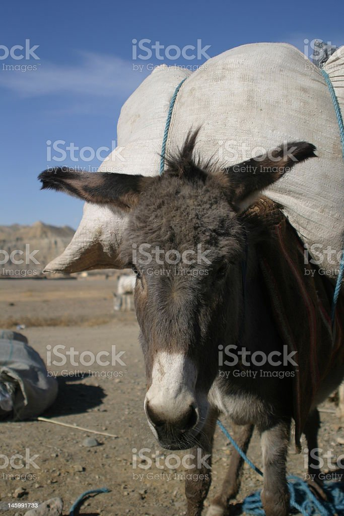 Afghanistan donkey, fully laden royalty-free stock photo