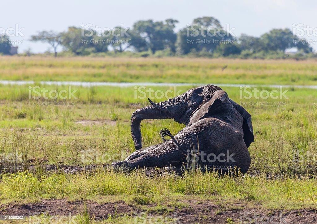 Afrcan Elephant lying in mud wallow; Chobe N.P., Botswana, Africa stock photo