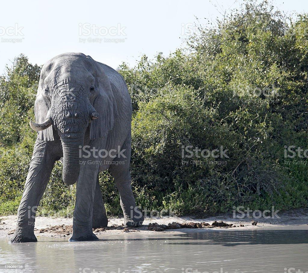 Afrcian Elephant with broken tusk; waterhole; Chobe NP.  Botswana stock photo