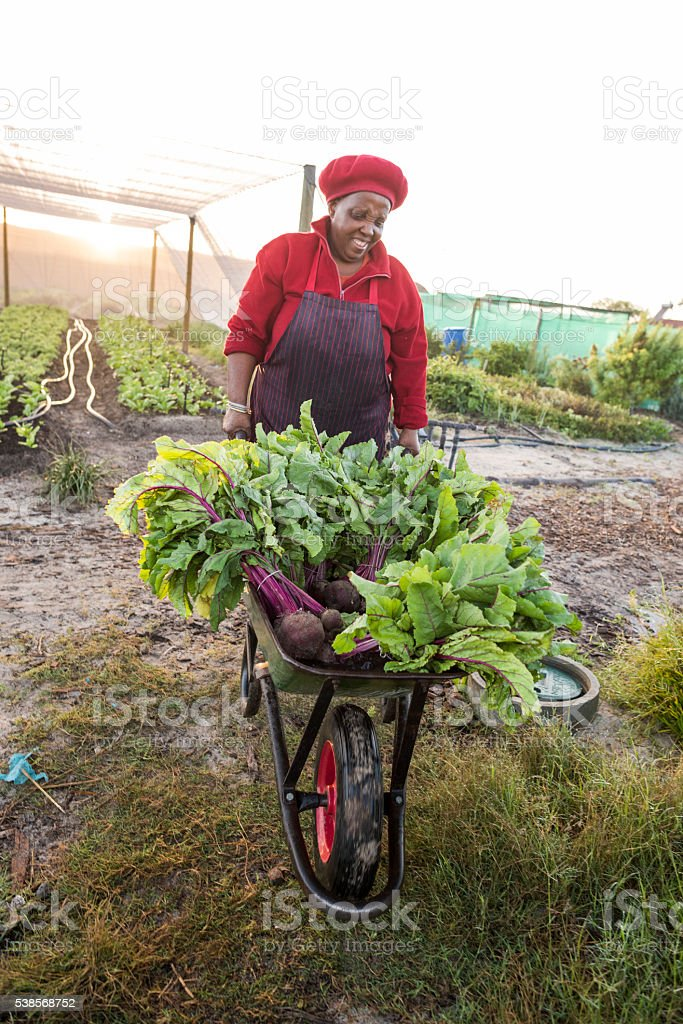 Afrcican woman pushing wheelbarrow with harvested vegetables stock photo