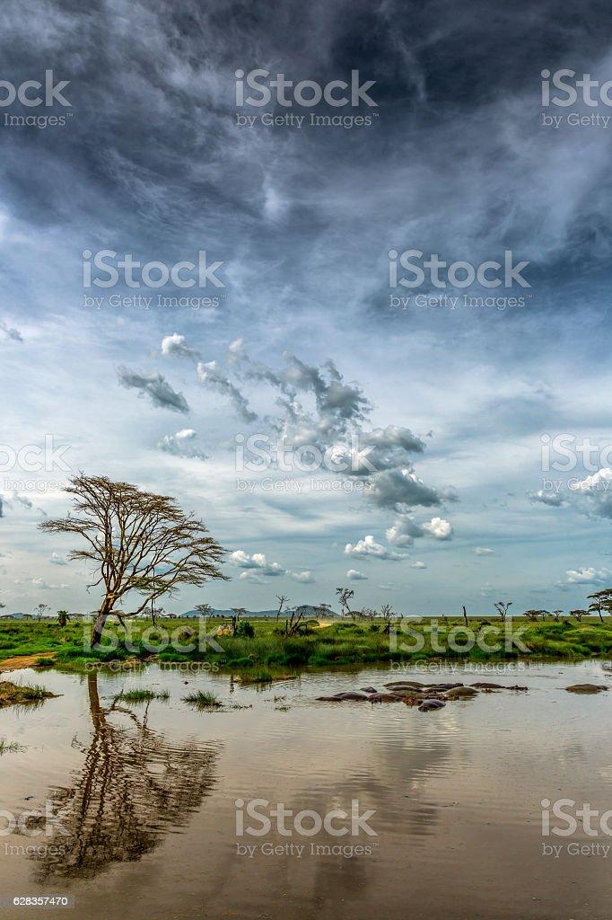 Africa Acacia Tree - Reflection stock photo