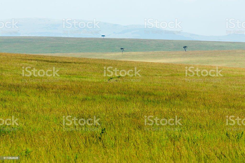 Africa Acacia Trees and fields at Masai Mara stock photo