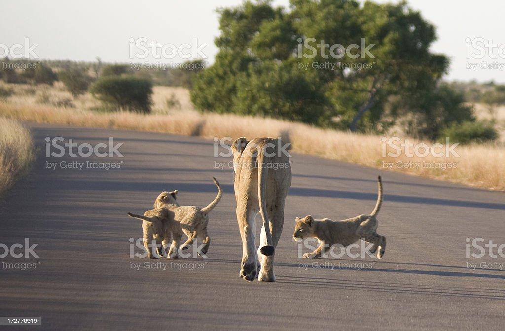 Africa. Baby Lions Playing Around Mum Lioness stock photo