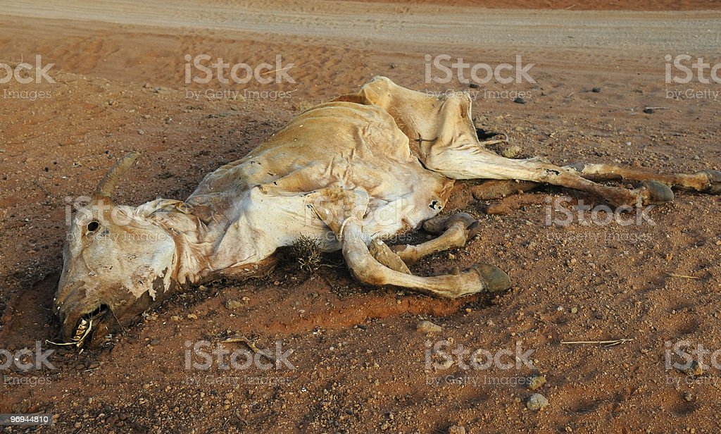 Africa Drought: Close up Dead Cow in Kenya stock photo