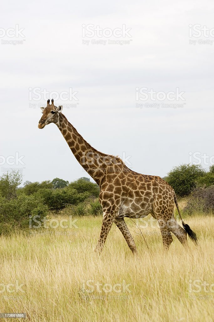 Africa. Giraffe royalty-free stock photo