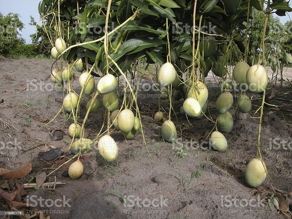 africa. mango tree detail stock photo
