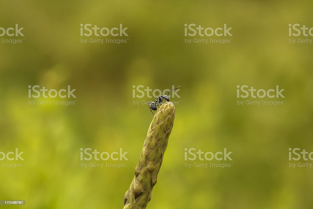 Africa Stink Ant royalty-free stock photo