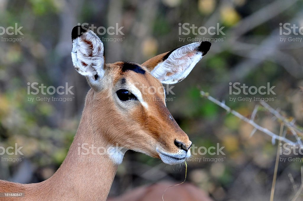 Africa Wildlife stock photo