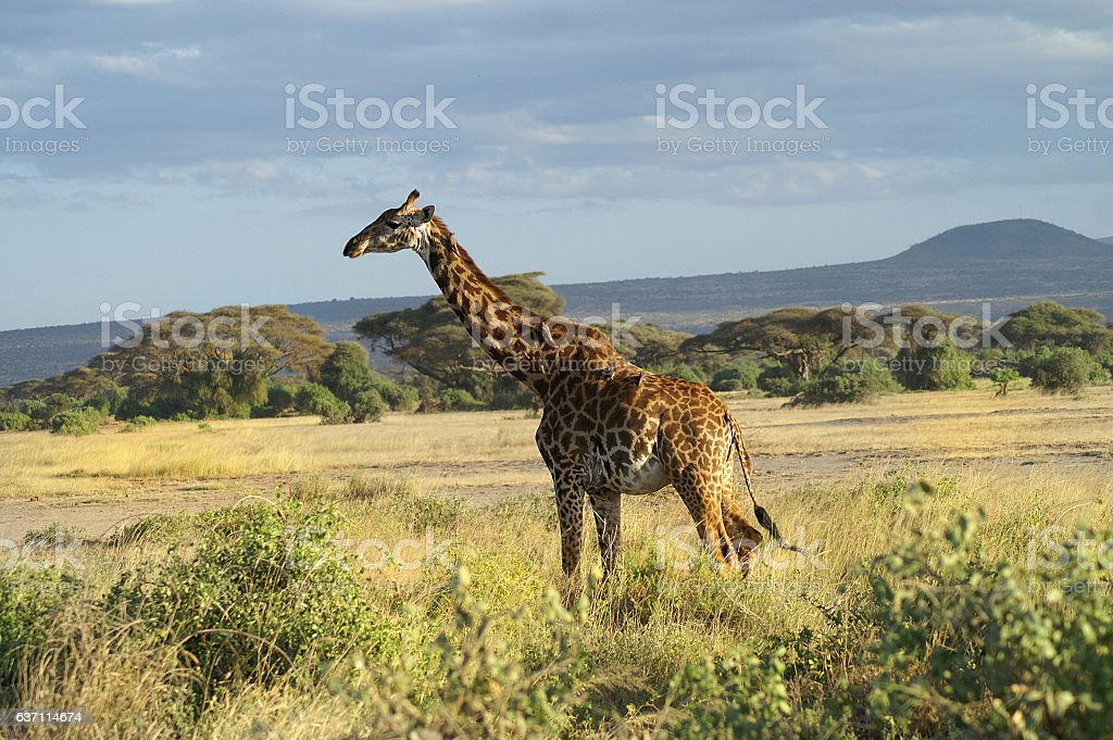 Africa, Zoology stock photo