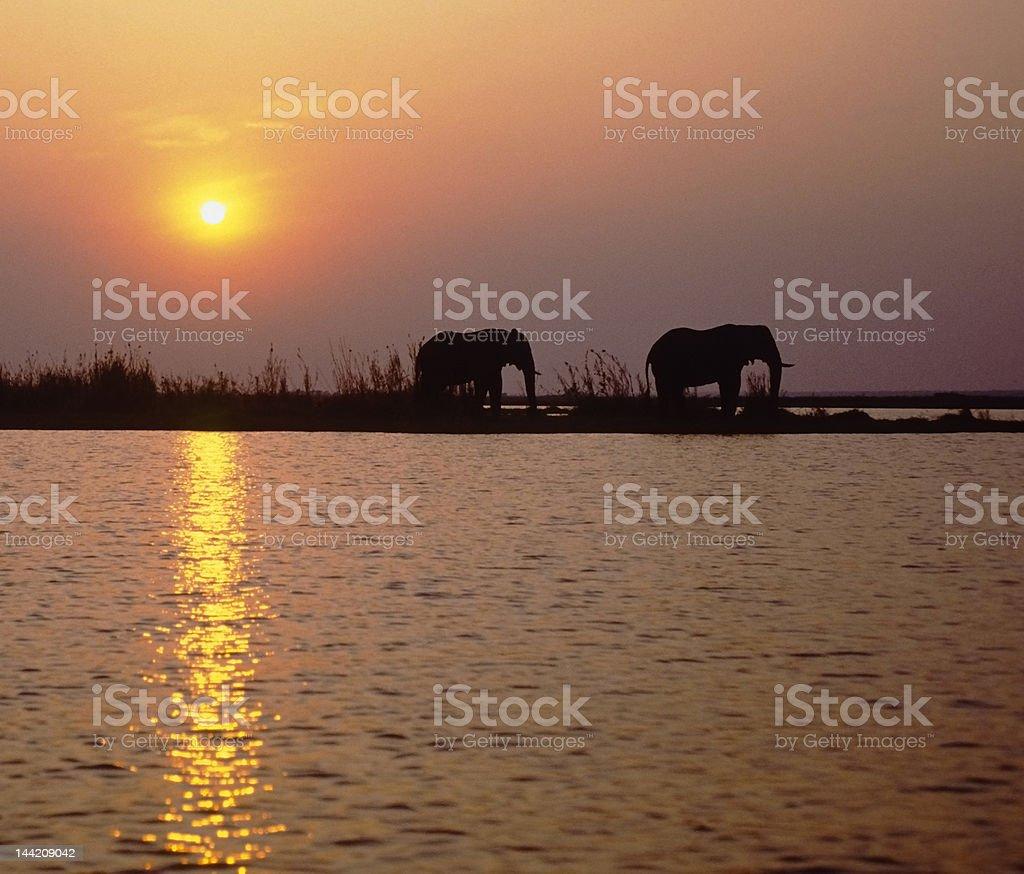 Africa-elephants at sunset royalty-free stock photo