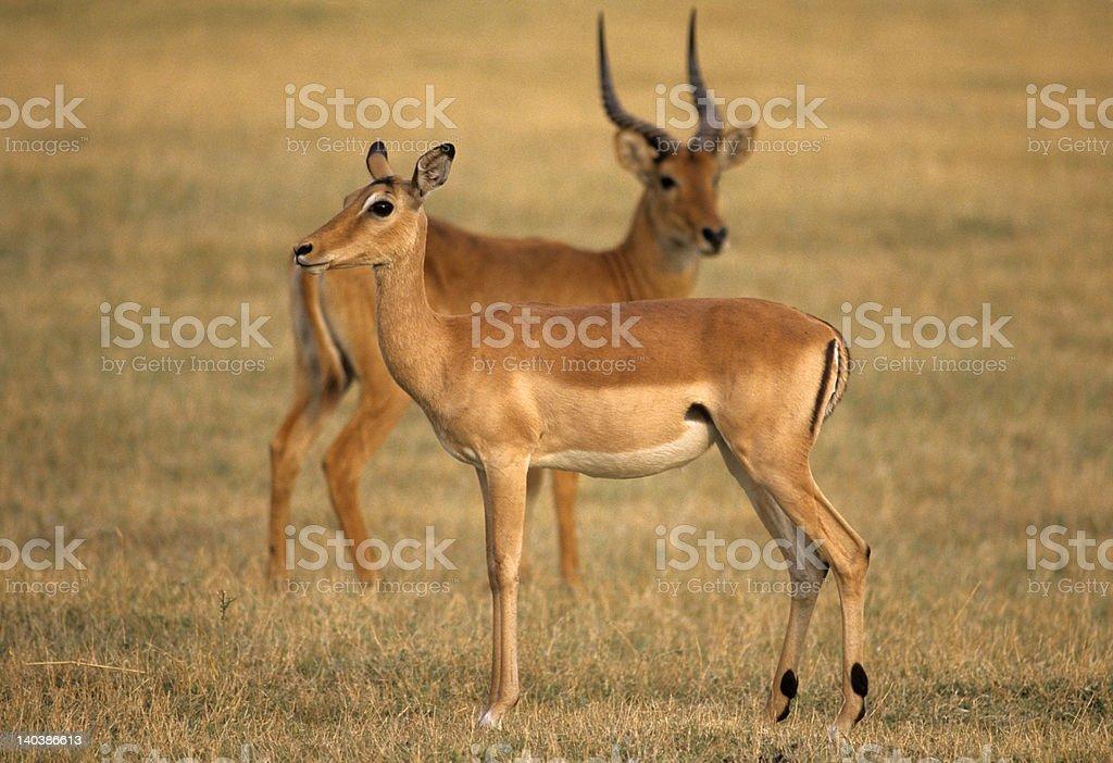 Africa-Impala stock photo