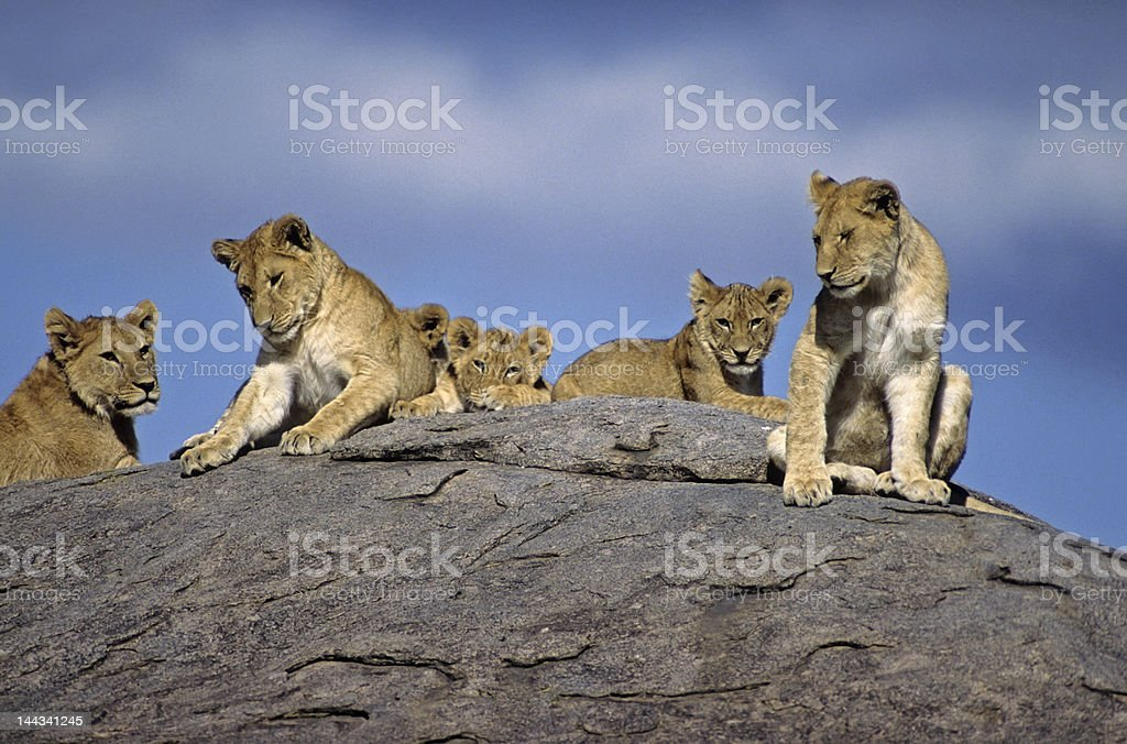Africa-Lions on kopje royalty-free stock photo