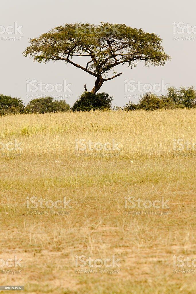 African Acacia Tree at Murchison Falls Nationak Park stock photo