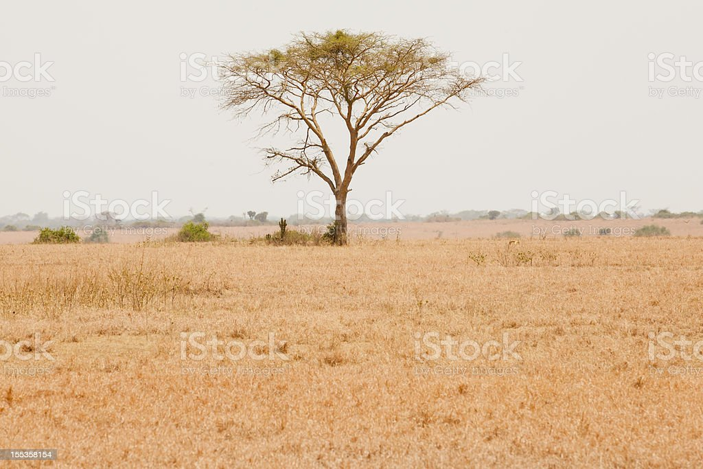 African Acacia Tree at Queen Elizabeth Nationak Park royalty-free stock photo