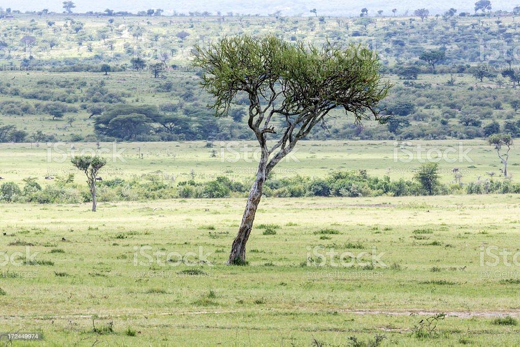 African Acacia Tree at Savannah stock photo