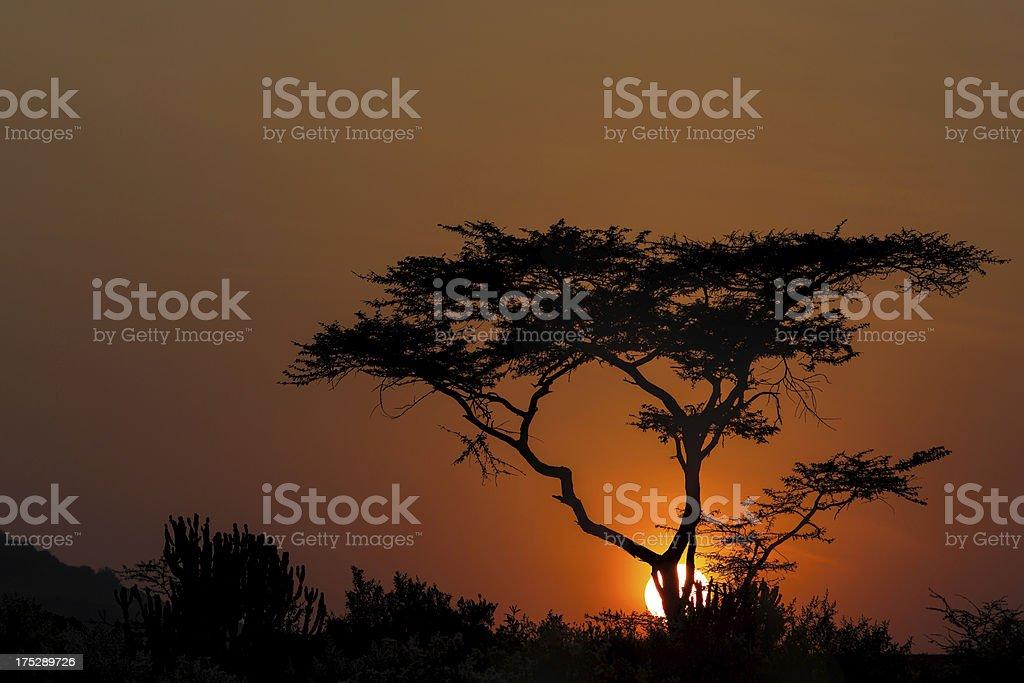 African Acacia Tree at Sunrise stock photo