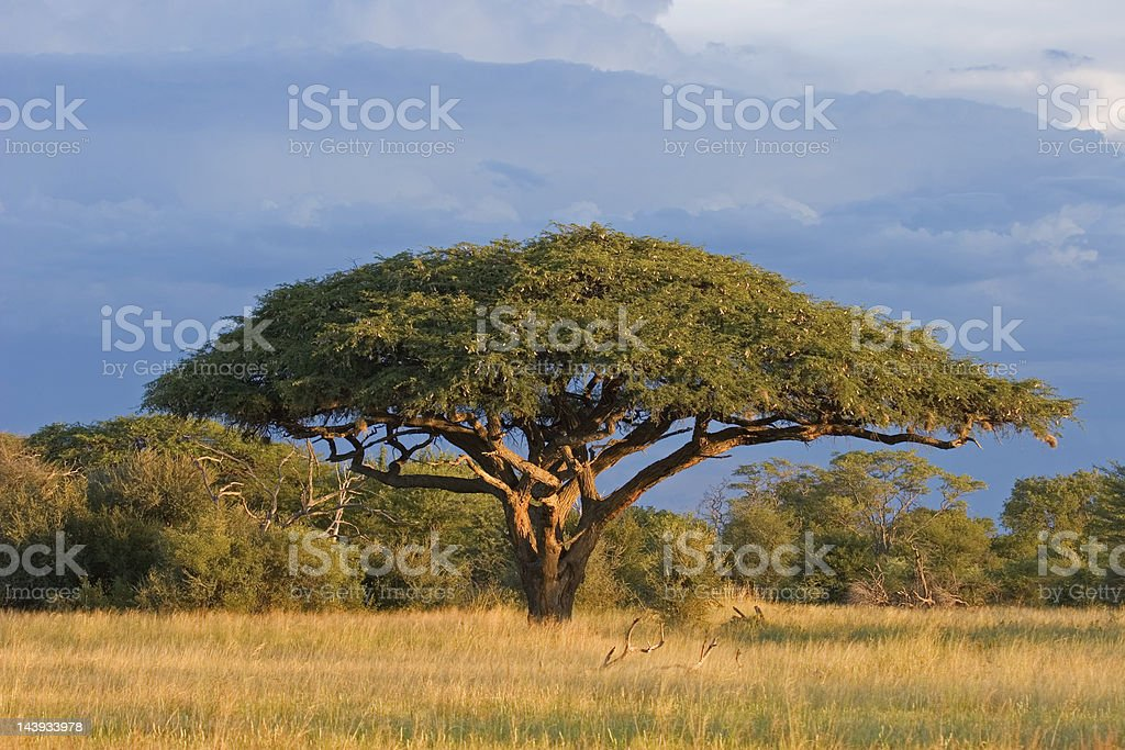 African Acacia tree in front of a beautiful blue sky stock photo