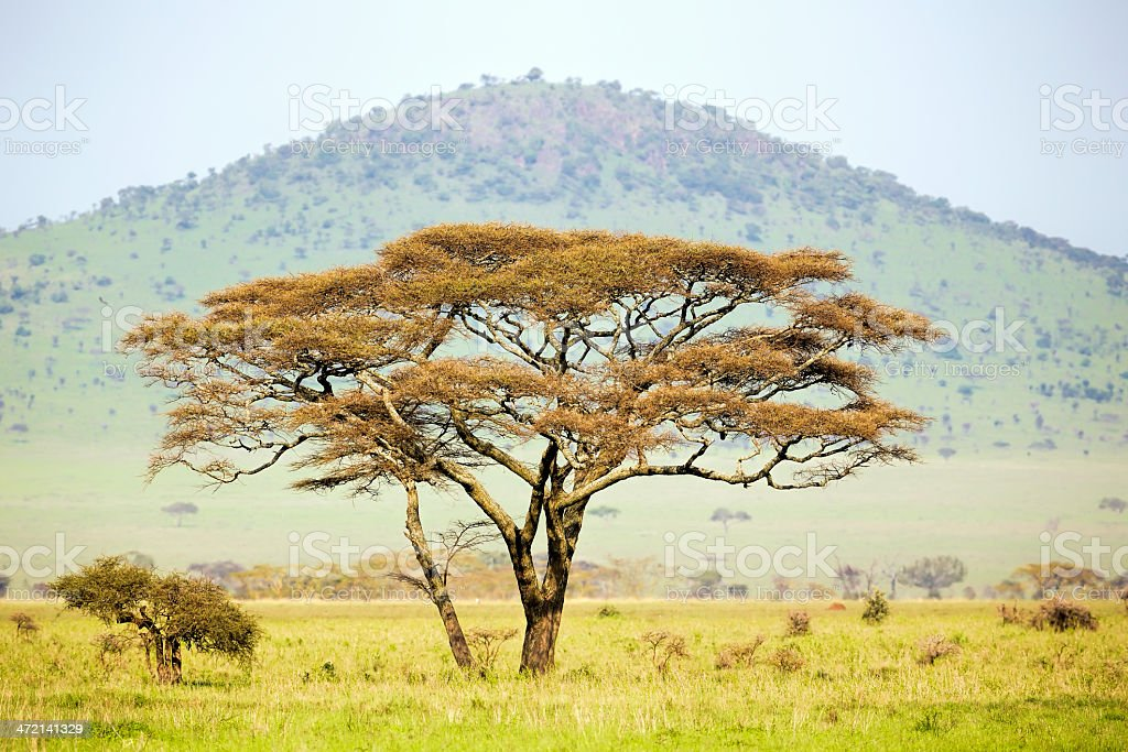 African Acacia Trees at Savannah stock photo