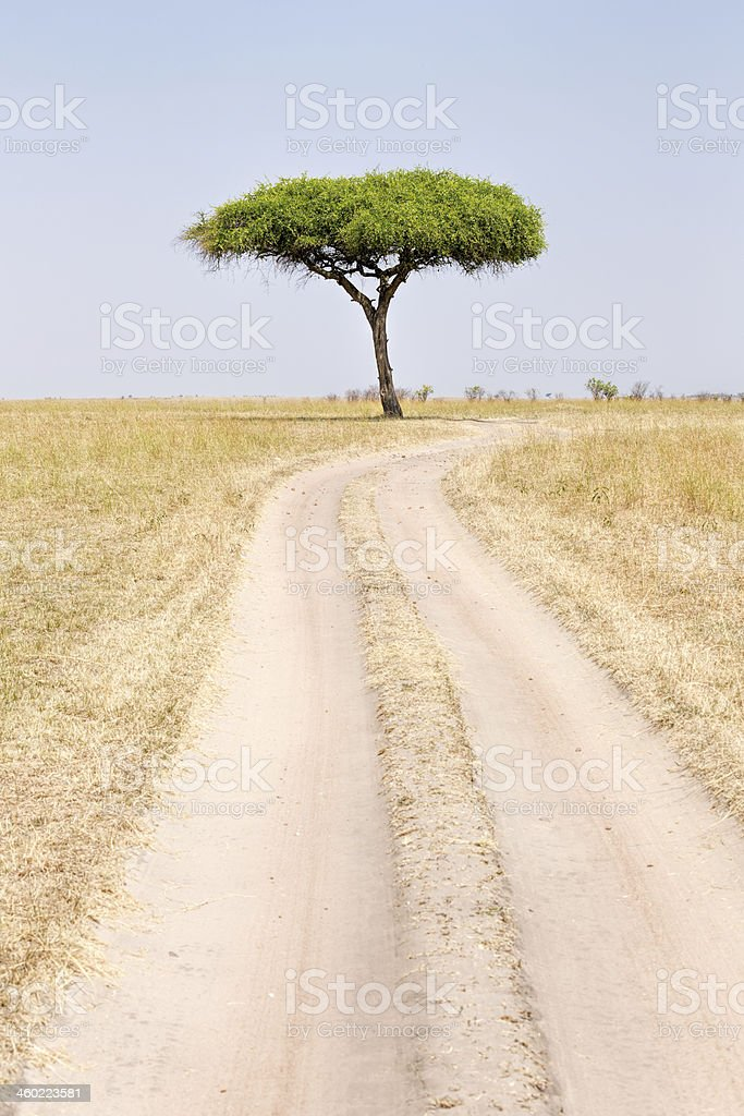 African Acacia Trees at Savannah under wind condition stock photo