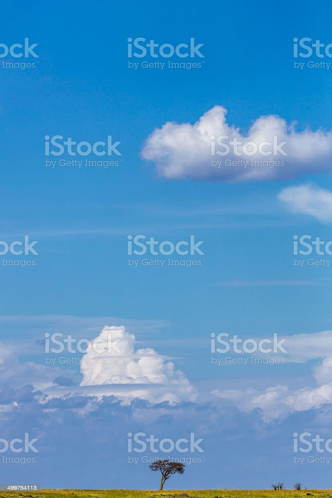 African Acacia Trees at Savannah under wind condition royalty-free stock photo