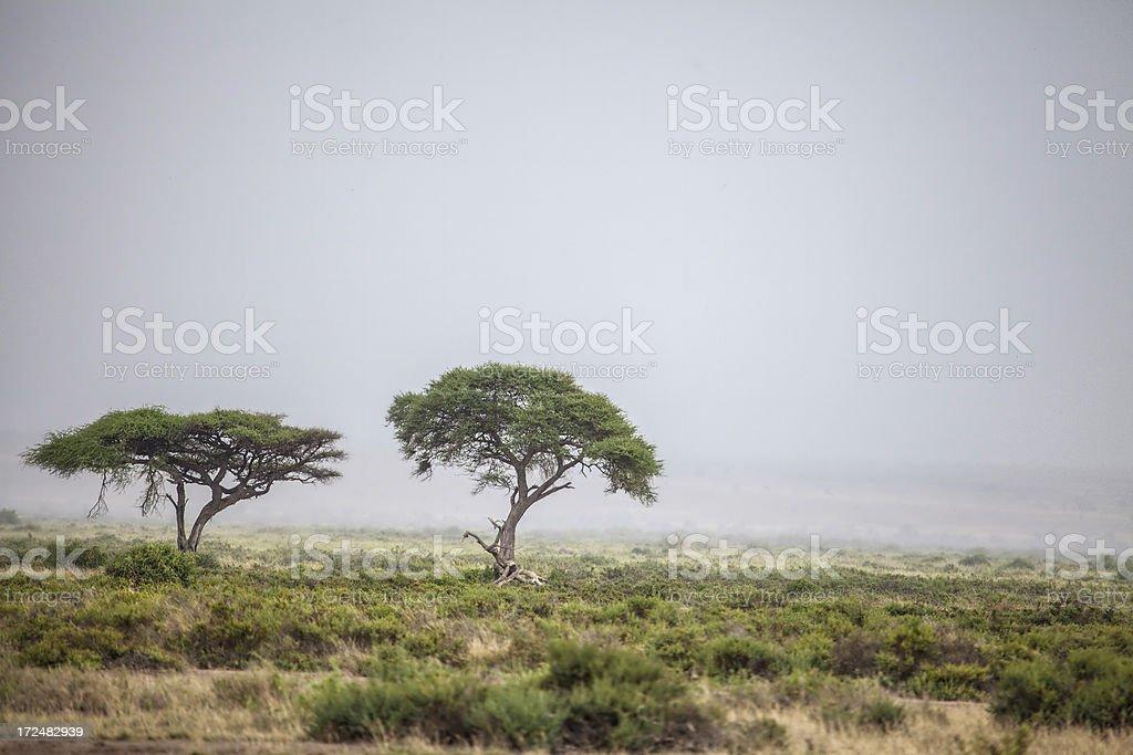 African Acacia Trees royalty-free stock photo