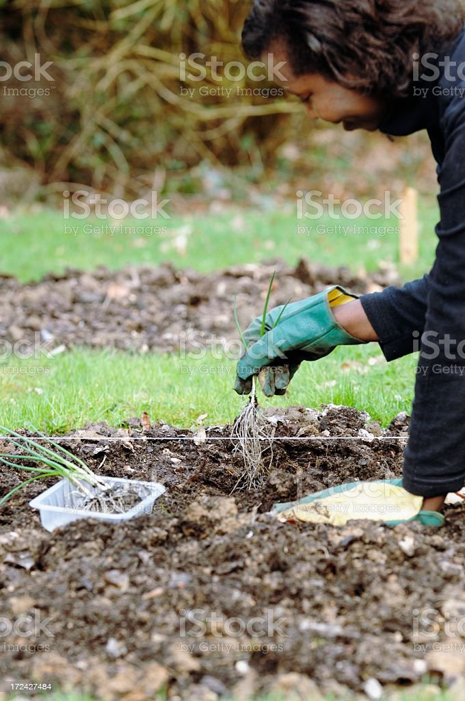 African American Gardener Kneeling Down And Planting Shallots/ Onions royalty-free stock photo