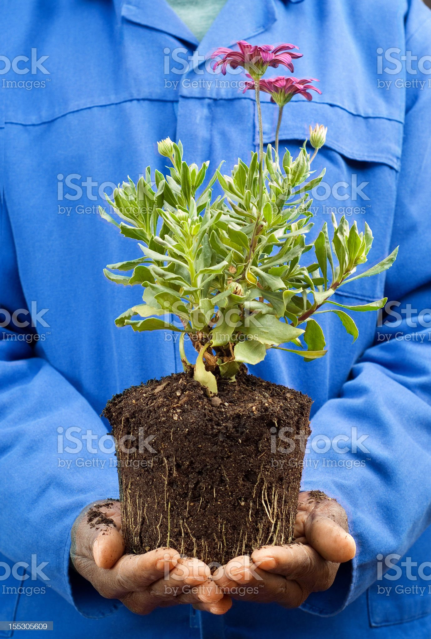 African American Hands Holding New Plant royalty-free stock photo